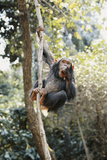 Africa  Young Female Chimpanzee Holding Tree Trunk