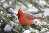 Northern Cardinal in Balsam Fir Tree in Winter  Marion  Illinois  Usa