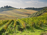 Italy  Tuscany Rows of Vines and Olive Groves Carpet the Countryside