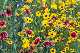 Prairie Wildflowers in Hill Country Near Johnson City  Texas  Usa