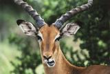 Kenya  Maasai Mara  Impala Looking at Camera