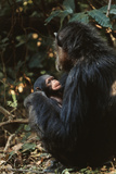 Africa  Female Chimpanzee and Infant