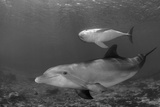 Baby Bottlenose Dolphin with Mother Curacao  Netherlands Antilles