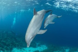 Mother and 6 Month Old Baby Atlantic Bottlenose Dolphins  Curacao