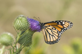 Monarch on Pasture Thistle  Prairie Ridge Sna  Marion  Illinois  Usa