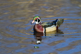 USA  Wa  Jaunita Bay Wetlands  Wood Duck  Male  Breeding Plumage