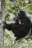 Tanzania  Chimpanzee Family Resting at Gombe Stream National Park