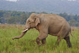 Indian Asian Elephant  Male  in the Savannah  Corbett NP  India