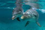 Atlantic Bottlenose Dolphin and Baby Curacao  Netherlands Antilles