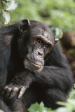Tanzania  Gombe Stream National Park  Male Chimpanzee