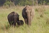 Indian Asian Elephant Family in the Savannah  Corbett NP  India