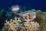 Balloonfish over Coral Reef Bonaire  Netherlands Antilles