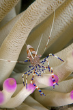 Spotted Cleaner Shrimp on an Anemone Curacao  Netherlands Antilles
