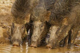 Wild Boars Drinking Water  Tadoba Andheri Tiger Reserve  Tatr  India