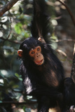 Africa  Young Chimpanzee Hanging at Forest