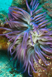 Giant Anemone with Purple Tentacles Curacao  Netherlands Antilles