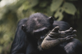 Tanzania  Gombe Stream National Park  Chimpanzee Foot  Close-Up