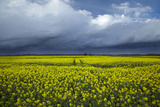 Rapeseed Field and Storm Clouds  South Canterbury  New Zealand