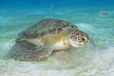 Green Sea Turtle Feeding on Sea Grass Curacao  Netherlands Antilles