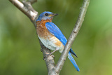 USA  Minnesota  Mendota Heights  Eastern Bluebird Perched Bush Branch