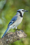 USA  Minnesota  Mendota Heights  Blue Jay  Perched on Tree Limb