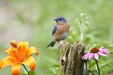 Eastern Bluebird Male on Fence Post  Marion  Illinois  Usa