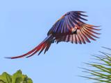 Scarlet Macaw in Flight Costa Rica Central America