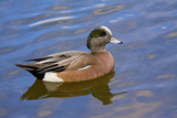 Male  American Wigeon  Swimming  Commonwealth Lake Park  Oregon  Usa
