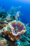 Azure Vase Sponge  Jardines De La Reina National Park Cuba  Caribbean