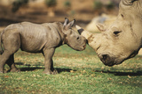 Africa, Captive Southern White Rhino with Young Papier Photo par Roy Toft