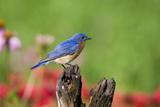 Eastern Bluebird on Fence Post in Flower Garden Marion  Illinois  Usa