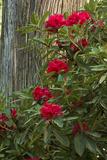 Rhododendrons  Portland Japanese Garden  Portland  Oregon  Usa