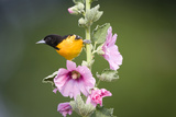 Baltimore Oriole Male on Hollyhock Marion  Illinois  Usa