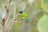 USA  Texas  Rachal  Tacubaya  Green Jay Perched on Tree Limb