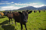 Cows and Mt Somers  Mid Canterbury  South Island  New Zealand