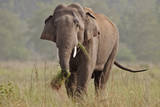 Indian Asian Elephant  Tusker  Feeding  Corbett National Park  India