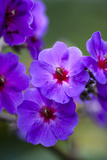 Purple Flower Costa Rica Central America