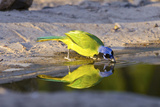 USA  Texas  Rachal  Tacubaya  Green Jay Drinking Water  Reflection