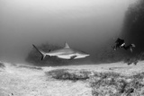 Caribbean Reef Shark  and Diver  Jardines De La Reina National Park