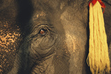Thailand  Elephant Eye