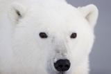 Polar Bear  Churchill  Mb