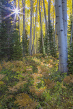 USA  Colorado Scenic of Aspen Forest