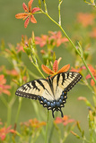 Eastern Tiger Swallowtail on Blackberry Lily  Marion  Illinois  Usa