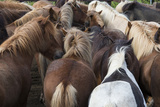 Herd of Icelandic Horse