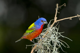 USA  Florida  Immokalee  Painted Bunting Perched on Mossy Branch