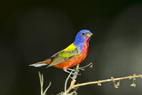 USA  Florida  Immokalee  Male Painted Bunting Perched on Branch