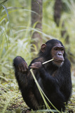 Tanzania  Gombe Stream NP  Female Chimpanzee Sitting at National Park