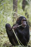 Tanzania  Gombe Stream NP  Female Chimpanzee Sitting at National Park