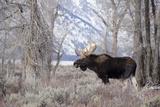 Moose in the Teton Mountains  Grand Teton NP  WYoming