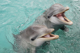 Baby Bottlenose Dolphin with Mother. Curacao, Netherlands Antilles Papier Photo par Barry Brown